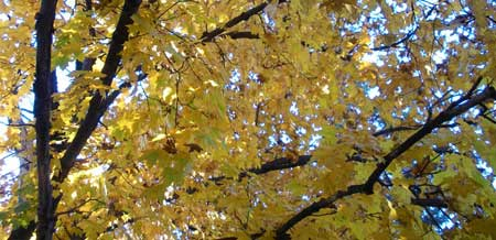 Looking up a tree, there are yellow leaves and some blue sky