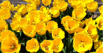 Yellow tulips by my office are great friends